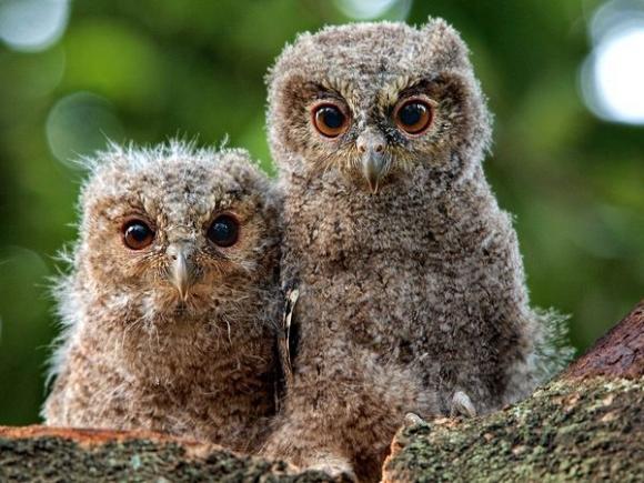 owlys