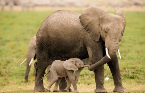 Image result for فيلة