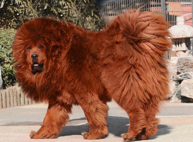 Red-Tibetan-Mastiff